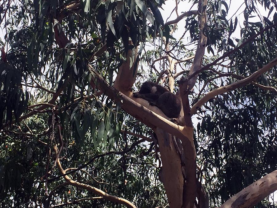 Koala Great Ocean Road www.taylorstracks.com