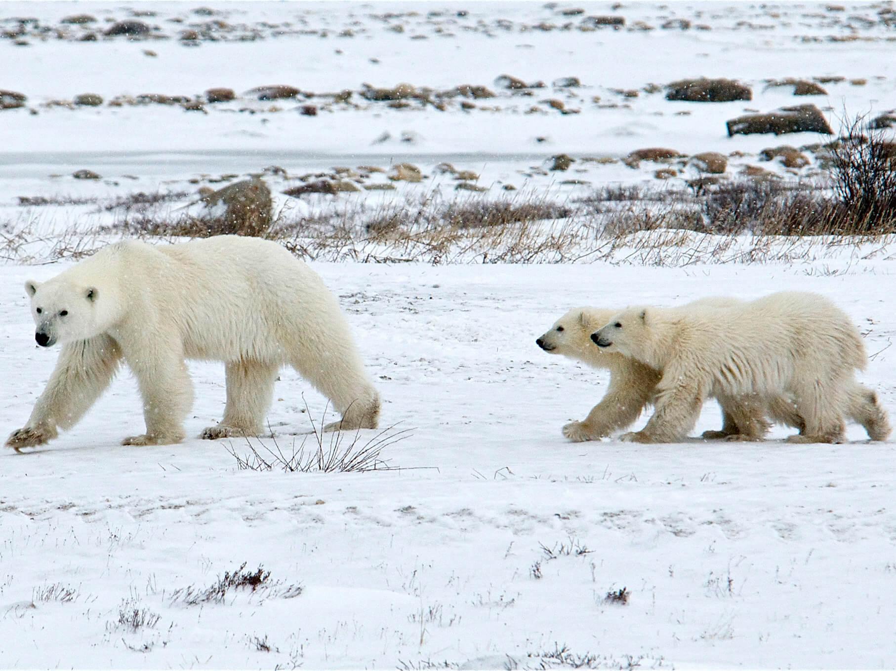 Manitoba-Polar-Bears
